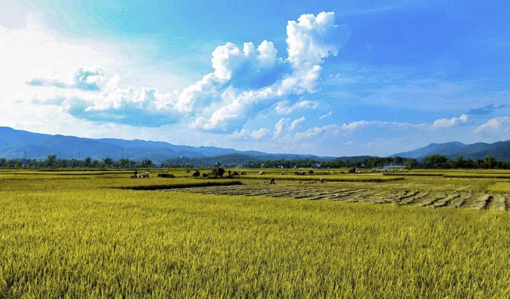 thu hoạch lúa điện biên